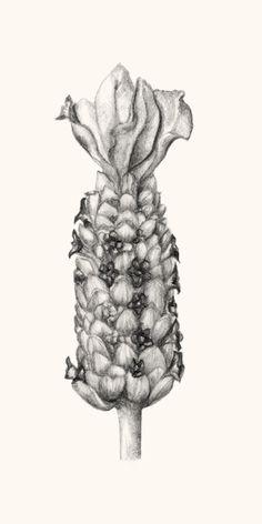 Lavandula luisieri. Ilustração: Carolina Fernandes da Silva