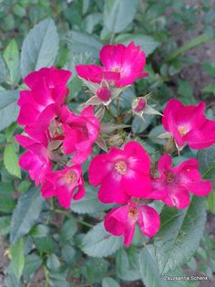 Paganini - Moschata Rose