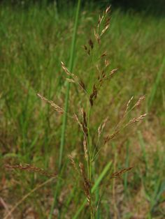 Colonial Bentgrass (Agrostis capillaris)