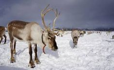 reinsdyr - Google-søk Cow, Horses, Animals, Animales, Animaux, Horse, Words, Animal, Animais