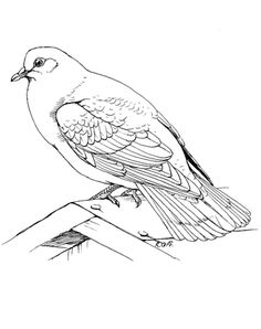 Click To See Printable Version Of Rock Dove Coloring Page