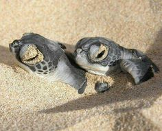 Best photos, images, and pictures gallery about baby sea turtle - sea turtle facts. Sea Turtle Facts, Turtle Life, Sea Turtle Pictures, Turtle Images, Animal Pictures, Types Of Turtles, Leatherback Turtle, Baby Animals, Cute Animals