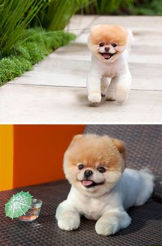 I don't care for pomeranians...but BOO may make me change my mind, he definately is the world's cutest dog!!!!