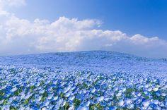 nemophilas field hitachi seaside park 9 83caf - Ngỡ ngàng trước cánh đồng hoa đẹp như trong cổ tích ở Nhật Bản