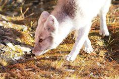 Arctic Fox (Vulpes lagopus) at CFS Alert Nunavut [OC] [1800x1200] - http://ift.tt/2bQjPFE