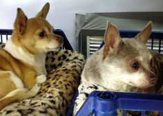 Two Chihuahuas - named Barbie and Ken - are seeking a new dream home.
