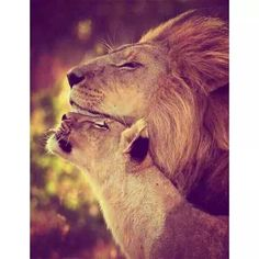 ❤️ Lion / lioness / wildcats / animal photography pictures / / cats of the wildBeautiful! ❤️ Lion / lioness / wildcats / animal photography pictures / / cats of the wild Beautiful Cats, Animals Beautiful, Wildlife Photography, Animal Photography, Regard Animal, Animals And Pets, Cute Animals, Wild Animals, Gato Grande
