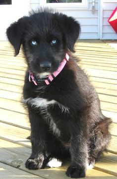Siberpoo Dog Information and Pictures. The Siberpoo Dog is not a purebred dog. It is a cross between the Husky and the Poodle. Husky Cross Breeds, Poodle Cross Breeds, Dog Breeds, Pitbull Boxer, Boxer Mix, Boxer Dogs, Husky Poodle Mix, Husky Puppy, Husky Mix
