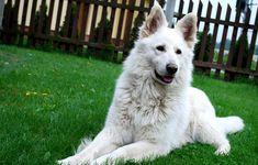 White Swiss Shepherd, Shepherd Dog, Husky, Dogs, German, Animals, Black, Deutsch, Animales