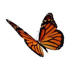 Arana Flipkens — альбом «CLIPART / CLIPART3 / butterflies and... ❤ liked on Polyvore featuring butterflies