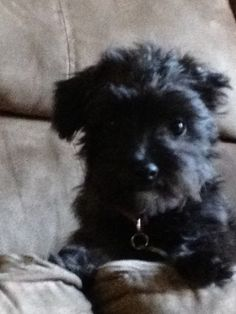 Yorkie poo puppy, Emma Yorkie Poo Puppies, Yorkies, Yorki Poo, Poodle Mix, Adorable Animals, Dog Stuff, Pets, Yorkshire Terriers, Yorkshire