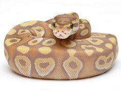 Banana Mojave - Morph List - World of Ball Pythons