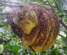 Bee hive on a tree - I wish this could be meeee