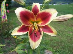Lily 'Red Dutch'