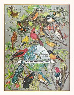 'Song and Perching Birds', a vintage illustration. #vintageart #vintageimages #naturalhistory #biodiversity #vintageillustrations #songbirds #vintagebirds