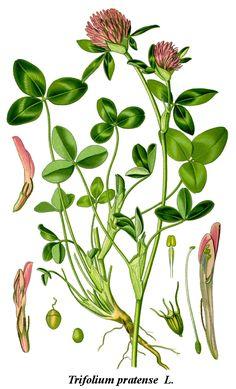 Cleaned-Illustration Trifolium pratense - Trifolium pratense - Wikipedia, la enciclopedia libre