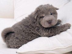 Lilac Bear coat Shar-Pei puppy