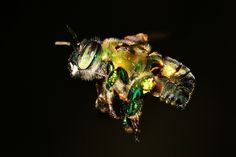 Pure beauty is a Euglossine Bee: Part Friend Rings, Bee Photo, Pure Beauty, Bees, Cool Photos, Wordpress, Cocktail, Pure Products, Fun