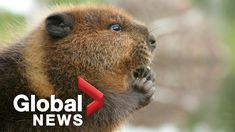 British Columbia has more uniquely Canadian species than any other provi... Environmental Health, Global News, British Columbia, Nurses, Animals, Youtube, Animales, Animaux, Animal