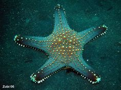 Red Tubercled Sea Star