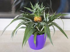 Ananas-Pflanzen selbst vermehren The cultivation of a new pineapple plant from the leaves of the pin Pineapple Planting, Pot Jardin, Organic Compost, Pineapple Fruit, Replant, Potting Soil, Grow Your Own, Houseplants, Container Gardening