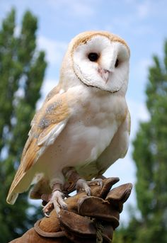 Cute Birds, Cute Owl, Pretty Birds, Owl Photos, Owl Pictures, Beautiful Owl, Animals Beautiful, Animals And Pets, Funny Animals