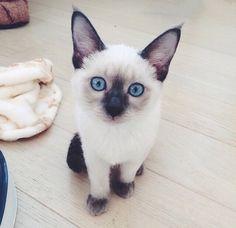 Image via We Heart It https://weheartit.com/entry/147731775 #cat #cats #cuteanimals #kitten #kitty