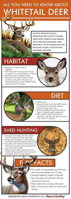 """Whitetail Deer Infographic - """"All You Need to Know About Whitetail Deer"""" - Learn about deer habitats, diets and what antler hunting is. hunting All You Need to Know About Whitetail Deer Whitetail Deer Hunting, Quail Hunting, Deer Hunting Tips, Turkey Hunting, Archery Hunting, Hunting Gear, Hunting Stuff, Crossbow Hunting, Coyote Hunting"""