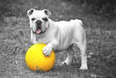 perro, pelota, mascota, en blanco y negro, juego - Fondos de Pantalla HD - professor-falken.com