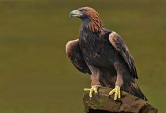golden eagle resting by Ronald Coulter on 500px