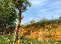 Countryside, Country, Campo, Landscape, Paisaje, Cow, Vaca, Barbosa, Antioquia, Colombia