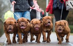 Download wallpapers Bordeaux dogs, French Mastiff, large brown dogs, family, Birmingham 2018, Bordeaux Mastiff