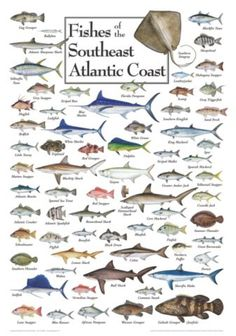 Fishes of the Southeast Atlantic Coast Regional Fish Poster | Bass Pro Shops