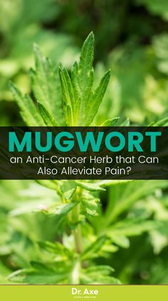 What exactly is mugwort? Well, outside of sounding like it should be in the pages of the Harry Potter series, it's a root-based perennial plant that goes by many different names.