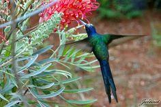 Beija-flor Tesoura na Grevílea-anã