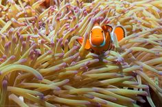 "Brett West Photography | Clownfish and anemone on the Great Barrier Reef, QLD  ""Oh, hello there"""