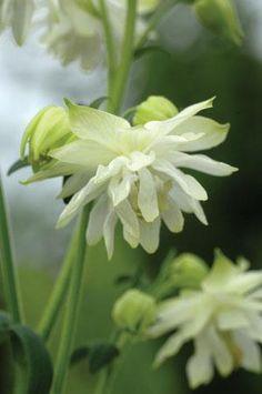 Aquilegia vulgaris lime sorbet: Bloeitijd mei - juli, Hoogte 75 cm, Wintergroen nee