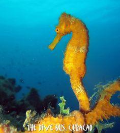 yellow seahorse | Flickr - Photo Sharing!