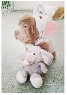 Adorable bearcoat shar pei  From Instagram bearcoat_tonkey