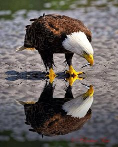 LOL!! WHAT A TREAT!! NEVER DREAMED I'D FIND A REFLECTION PHOTO OF THE BALD EAGLE!!