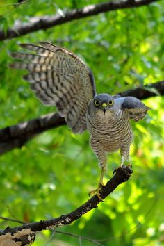 Japanese sparrowhawk (Accipiter gularis) ツミ