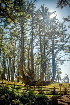The Octopus Tree of Oregon T