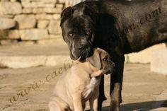 Italian Cane Corso, Cane Corso Italian Mastiff, Cane Corso Mastiff, Cane Corso Dog, Cane Corso Kennel, Black Pitbull, Mastiff Breeds, Presa Canario, Baby Puppies
