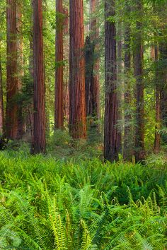 Redwood Forest, Northern California: