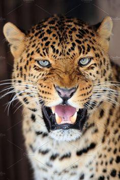 Leopard Photos Leopard portrait on dark background by byrdyak