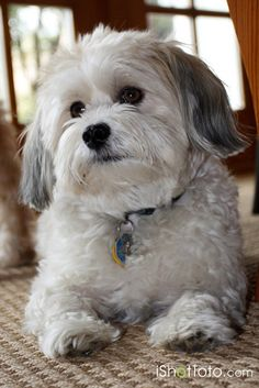 Image Detail for - Bentley is a 4 year old Havanese. He is a funny dog and loves to eat .