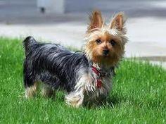 Australian Silky Terrier #Puppy #Dogs