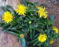 Glottiphyllum regium flowers and foliage..... http://www.mzahrada.cz/document/pestovani-sukulentu-kosmatcovitych-21