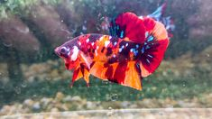 Tangerine Color, Pale Orange, Dark Definition, Thailand Flag, Pineapple Yellow, Blue Highlights, Siamese Fighting Fish, Blue Bodies, Black Orchid
