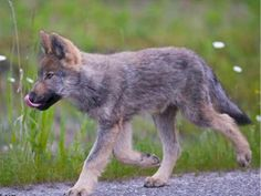 The troubled Bow Valley wolf pack has suffered another loss after one of this year's pups was killed on the railway tracks near the den site. On Saturday, officials with Banff National Park r… Wolf Pictures, Cute Pictures, Banff National Park, National Parks, Dances With Wolves, Wolf Pup, Wolf Quotes, By Train, Wild Nature
